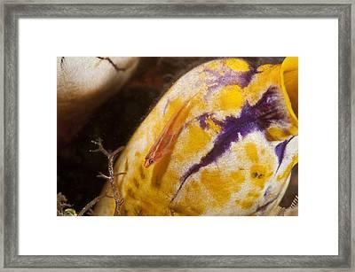 Stonycoral Ghostgoby Framed Print