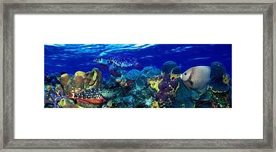 Stoplight Parrotfish Sparisoma Viride Framed Print by Panoramic Images