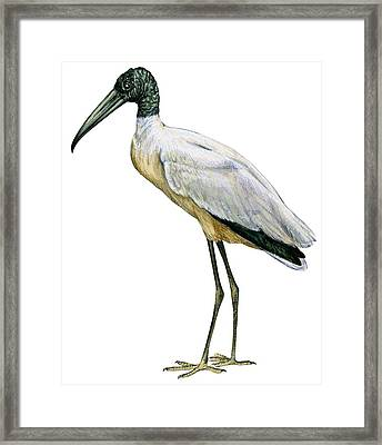 Stork Framed Print by Anonymous