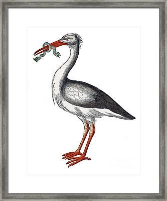 Stork, Historiae Animalium, 16th Century Framed Print by Science Source