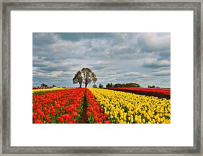 Storm Over Wooden Shoe Tulip Farm Framed Print by Peter Dang