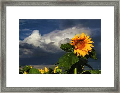 Stormy Sunflower Framed Print
