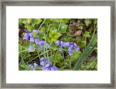 Stormy Wild Bluebell  Framed Print by Tim Rice