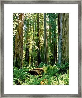 Stout Grove Coastal Redwoods Framed Print