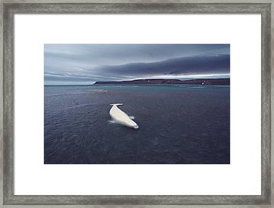 Stranded Beluga Whale Awaiting Incoming Framed Print