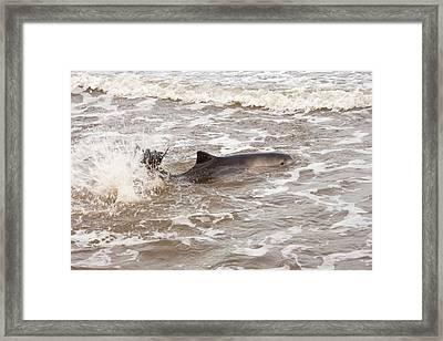 Stranded Harbour Porpoise Framed Print