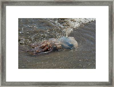 Stranded Jellyfish Framed Print by Sinclair Stammers