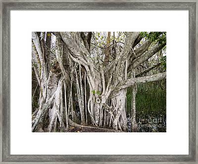 Strangler Fig Tree Framed Print by Tracy Knauer