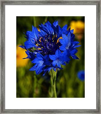 Straw Flower Framed Print