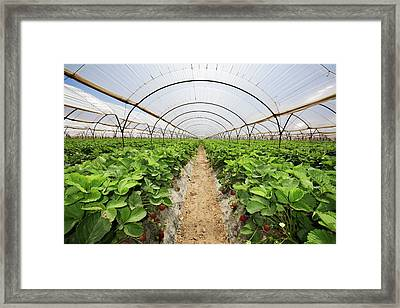 Strawberries Growing In Polytunnels Framed Print by David Parker