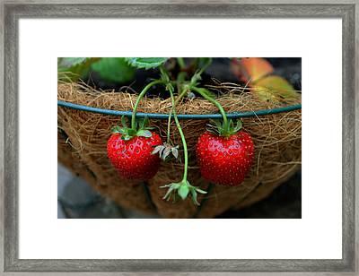 Strawberries Framed Print by Pamela Walton