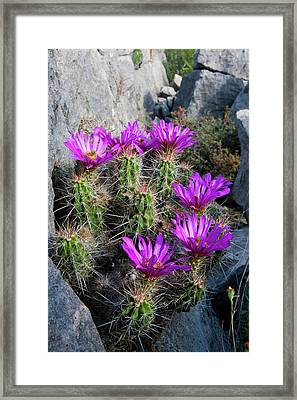 Strawberry Cactus (echinocereus Framed Print by Larry Ditto