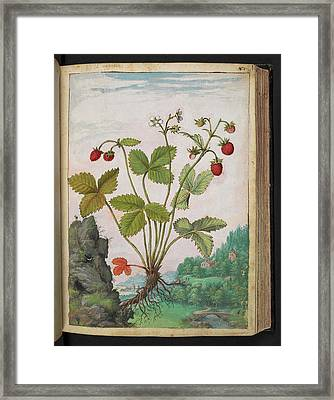 Strawberry (fragaria Sp.) Framed Print by British Library