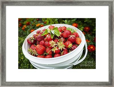 Strawberry Harvest Framed Print by Elena Elisseeva