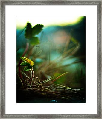 Strawberry Sunrise Framed Print by Rebecca Sherman