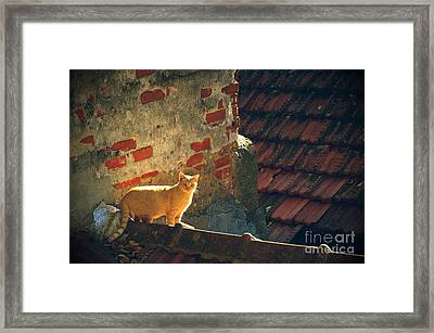 Stray Cat Framed Print by Carlos Caetano