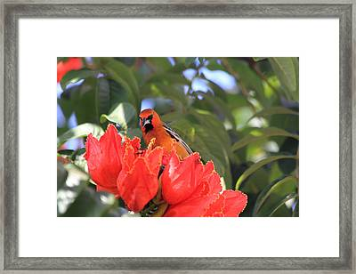 Streak-backed Oriole Framed Print