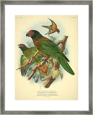 Streaked Lory Framed Print