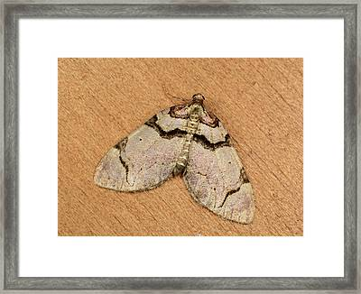 Streamer Moth Framed Print