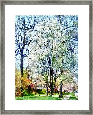 Street With White Flowering Trees Framed Print by Susan Savad