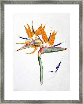 Strelitzia Reginae Flowers Framed Print by Natural History Museum, London