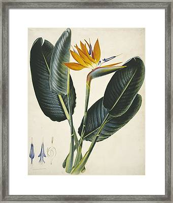 Strelitzia Sp. Flower, Artwork Framed Print by Science Photo Library