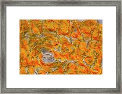 Strelizia Chromoplasts Framed Print by Gerd Guenther