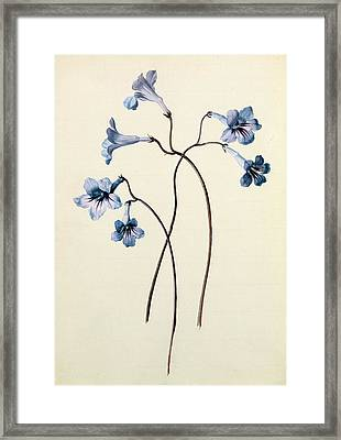 Streptocarpus Framed Print by German School