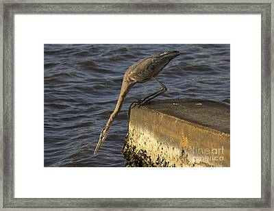 Framed Print featuring the photograph Stretch - Great Blue Heron by Meg Rousher