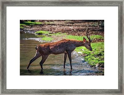Stretching After Bathing. Male Deer In The Pampelmousse Botanical Garden. Mauritius Framed Print