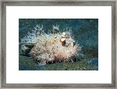 Striated Frogfish On A Reef Framed Print