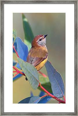Striated Thornbill Framed Print by Bill  Robinson