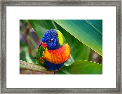 Striking Rainbow Lorakeet Framed Print