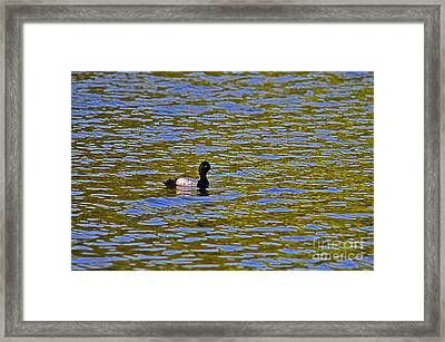 Striking Scaup Framed Print by Al Powell Photography USA