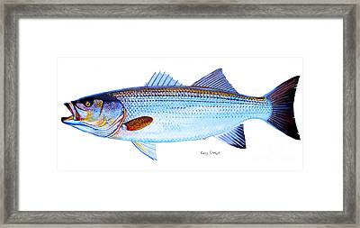 Striped Bass Framed Print by Carey Chen