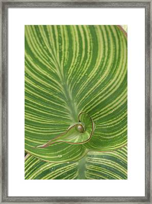 Striped Canna Leaf Abstract Framed Print