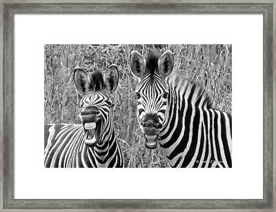 Striped Donkeys Zebra Chapman's Race Framed Print by Jonathan Whichard
