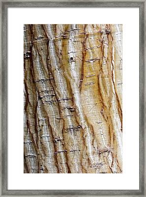 Striped Maple Framed Print by Steven Ralser