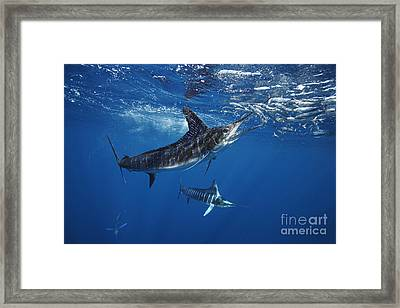 Striped Marlin Feeding On Baitball Of Sardines Framed Print by Brandon Cole