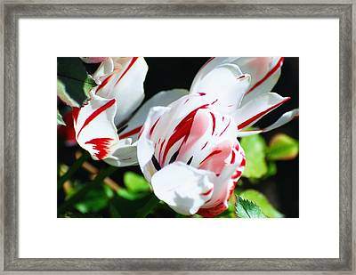 Striped Tulips Framed Print