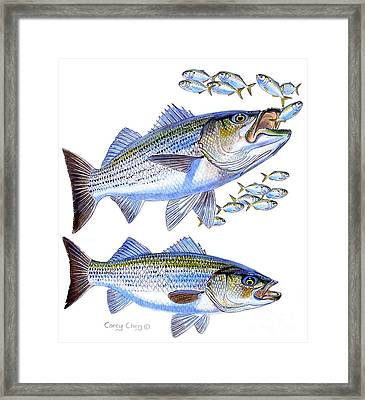 Stripers Framed Print by Carey Chen