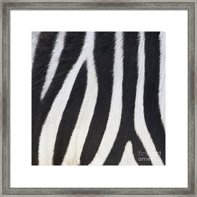 Framed Print featuring the photograph Stripes On Zebra by Bryan Mullennix