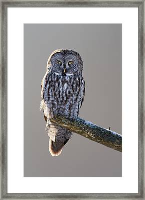 Strix Nebulosa Framed Print by Mircea Costina Photography