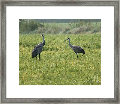 Framed Print featuring the photograph Strolling Cranes by Debbie Hart
