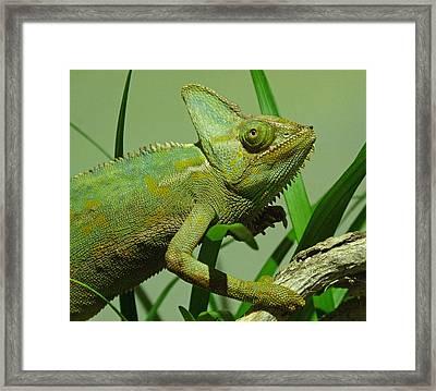 Strolling Veiled Chameleon Framed Print by Margaret Saheed
