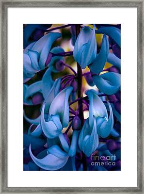 Strongylodon Macrobotrys - Blue Jade Vine Framed Print by Sharon Mau