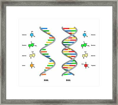 Structure Of Rna And Dna Framed Print by Claus Lunau