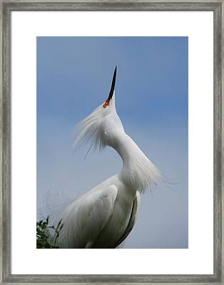 Strut Yer Stuff Framed Print by Skip Willits