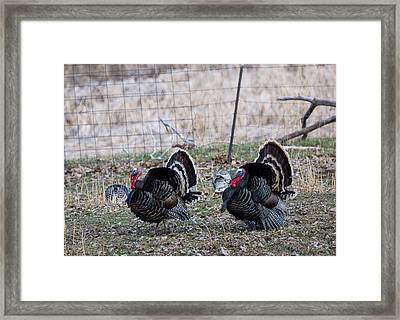Strutting Turkeys Framed Print