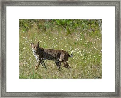 Strutting Bobcat  Framed Print by Patricia Twardzik
